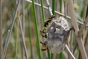 Female Greek paper wasps (Polistes hellenicus) tending grubs in their nest in coastal scrubland, Lesbos / Lesvos,  Greece, May. - Nick Upton