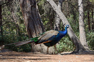 Male Indian or Blue peafowl / peacock (Pavo cristatus) foraging on a pine forest floor, followed by a chick, Plaka, Kos, Dodecanese Islands, Greece, August. - Nick Upton