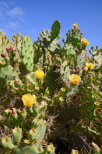 Prickly pear cactus / Barbary fig (Opuntia ficus-indica) flowering, Tenerife, May.  -  Nick Upton