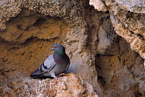 Wild Rock Dove / Rock pigeon (Columba livia), perched on an eroded volcanic rock face, Leros, Dodecanese Islands, Greece, August - Nick Upton