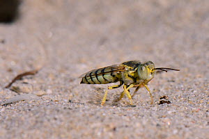 Female Sand wasp / Digger wasp (Bembix olivacea) excavating a nest hole in beach sand, flinging sand behind it as it works, Kos, Dodecanese Islands, Greece, August. - Nick Upton