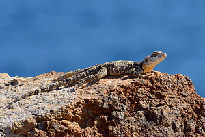 Starred agama / Stellion (Stellagame / Laudakia stellio stellio) sunning on rocks at the coast, Patmos, Dodecanese islands, Greece, August.  -  Nick Upton