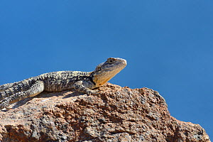 Starred agama (Stellagame / Laudakia stellio stellio) sunning on rocks at the coast, Patmos, Dodecanese islands, Greece, August.  -  Nick Upton