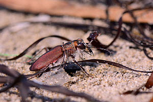 Tiger beetle (Calomera concolor) foraging among the tide wrack on a sandy beach, Kos, Dodecanese Islands, Greece, August. - Nick Upton