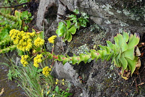 Tree houseleek (Aeonium cuneatum), an endemic species of the Anaga mountians, flowering on a rocky roadside slope in montane laurel forest, Anaga Rural Park,Tenerife, May. - Nick Upton