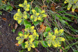 Tree of love / Mice ears (Aichryson laxum), a Canaries endemic, flowering on rocky slope in montane Laurel forest, Anaga Mountains, Tenerife, May. - Nick Upton