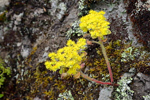 Tree of Love / Mice ears (Aichryson laxum), a Canaries endemic, flowering on a lichen and moss covered rock face in montane laurel forest, Anaga Mountains, Tenerife, May. - Nick Upton