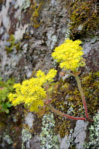Tree of love / Mice ears (Aichryson laxum), a Canaries endemic, flowering on a rock face in montane laurel forest, Anaga Mountains, Tenerife, May. - Nick Upton
