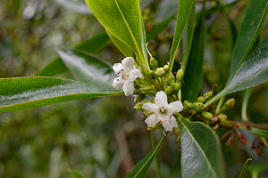 Waterbush / Pointed Boobialla (Myoporum tenuifolium) a species from Australia and New Caledonia invasive in Tenerife, with flowers and developing fruits in montane laurel forest, near  Chamorga, Anaga... - Nick Upton
