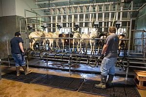 Domestic goats (Capra hircus) in milking parlour, Sonoma County, California, USA, May 2012.  -  Suzi Eszterhas