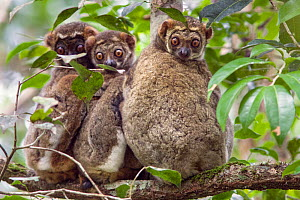 Eastern woolly lemur (Avahi laniger) group on branch,  Andasibe-Mantadia National Park, Madagascar. - Suzi Eszterhas