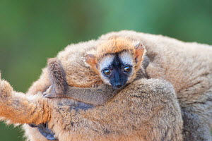 Red-fronted brown lemur (Eulemur rufifrons) infant clinging to mother, Berenty Private Reserve, Madagascar. - Suzi Eszterhas