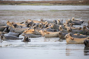 Harbor seal (Phoca vitulina) group hauled out, Elkhorn Slough, Monterey Bay, California, USA, March.  -  Suzi Eszterhas
