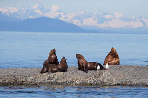 Steller sea lion (Eumetopias jubatus) young males sparring with large bull in background, Prince William Sound, Alaska, USA, July.  -  Suzi Eszterhas