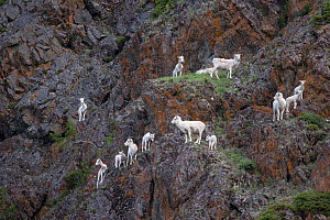 Dall sheep (Ovis dalli) group on cliffs, Seward Highway, Alaska, USA. July.  -  Suzi Eszterhas