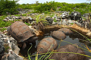 Aldabra Giant Tortoises (Aldabrachelys gigantea) resting in a pool to keep cool, Grand Terre, Natural World Heritage Site, Aldabra - Willem  Kolvoort