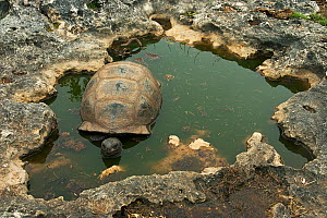 Aldabra Giant Tortoise (Aldabrachelys gigantea) resting in a pool to keep cool, Grand Terre, Natural World Heritage Site, Aldabra - Willem  Kolvoort