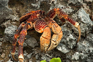 Coconut crab (Birgus latro) Grand Terre, Natural World Heritage Site, Aldabra - Willem  Kolvoort