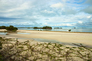 Crab Plovers (Dromas ardeola) along shore of Aldabra lagoon with coral 'mushrooms' and mangrove roots, Natural World Heritage Site, Aldabra 2006  -  Willem  Kolvoort