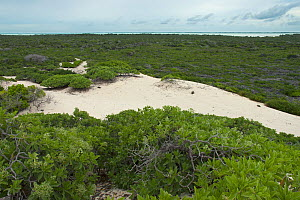 Aldabra Giant Tortoises (Aldabrachelys gigantea) aerial view of the dunes on the south coast of Grand Terre, lagoon in distance, Natural World Heritage Site, Aldabra - Willem  Kolvoort