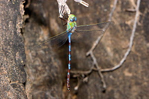 Giant darner dragonfly (Anax walsinghami) male resting on rock, Big Bend State Natural  Area, Texas, USA, September  -  John Abbott