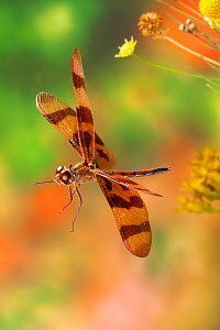 Halloween pennant (Celithemis eponina) male in flight, Texas, USA, August.  -  John Abbott