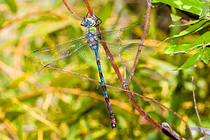 Giant darner (Anax walsinghami) male resting, Big Bend State Natural Area, Texas, USA, September.  -  John Abbott