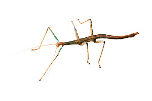 Giant walking stick (Megaphasma dentricus) female, captive laboratory animal.  -  John Abbott