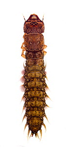 Eastern dobsonfly (Corydalus cornutus) larva, Texas, USA, September.  -  John Abbott