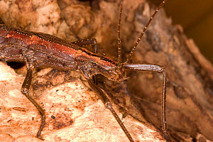 Southern two-striped walkingstick (Anisomorpha buprestoides) female, orange color form, Texas, USA, October.  -  John Abbott