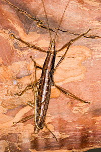 Southern two-striped walkingstick (Anisomorpha buprestoides)  orange color form, pair mating, Texas, USA, July.  -  John Abbott