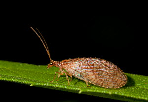 Brown lacewing (Micromus posticus) on goldenrod, Philadelphia, USA, July.  -  Doug Wechsler