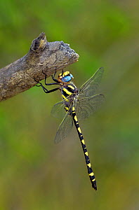 Pacific spiketail dragonfly (Cordulegaster dorsali) male resting,  California, USA.  -  David Welling