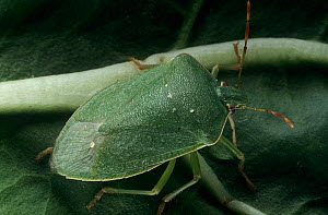 Southern green stink bug (Nezara viridula) . Introduced pest species in Australia. - Jiri Lochman