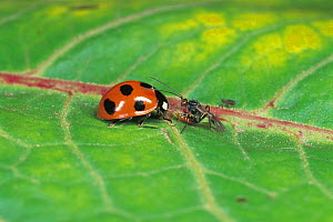 Parasitic wasp (Cotesia) laying eggs in Seven spot ladybird (Coccinella septempunctata) Japan. - Nature Production