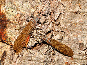 Salmonflies (Pteronarcys californica) male and female on  tree trunk, Deschutes River, Oregon, USA, June.  -  Visuals Unlimited