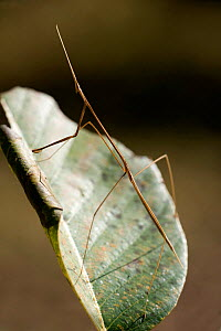 Indian stick insect (Carausius morosus) on leaf, Kanha Tiger Reserve, Madhya Pradesh, India  -  Robert Pickett