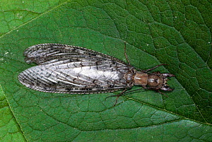 Eastern dobsonfly (Corydalus cornutus) female on leaf.  -  Visuals Unlimited