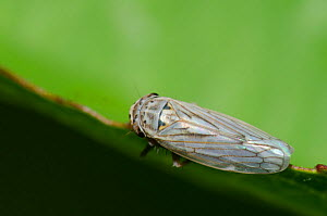 Gray lawn leafhopper (Exitianus exitiosus), Oklahoma, USA, August.  -  Visuals Unlimited
