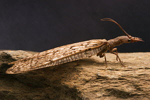 Eastern dobsonfly (Corydalus cornutus) adult female  -  Visuals Unlimited