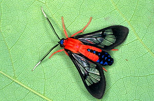 Scarlet-bodied wasp moth (Cosmosoma myrodora) a wasp mimic species with aposematic or warning colouration. Florida, USA, February.  -  Visuals Unlimited