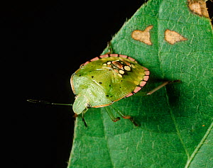 Southern green stink bug (Nezara viridula) nymph on Soyabean leaf - Visuals Unlimited