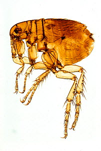 Female Human Flea (Pulex irritans). Flea parasites not only cause skin itching and irritation but they are also vectors of Plague (caused by Yersinia pestis), Murine or Endemic Typhus (caused by Ricke... - Visuals Unlimited