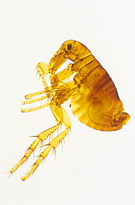 Human flea (Pulex irritans) taken with light microscope at 10 times magnification.  -  Visuals Unlimited
