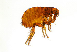 Human flea (Pulex irritans) taken with light microscope at 7 times magnification.  -  Visuals Unlimited