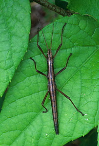 Walking Stick (Anisomorpha buprestoides), North America.  -  Visuals Unlimited