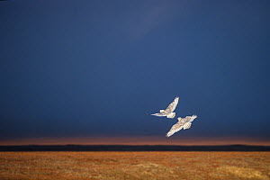 Snowy owls (Bubo scandiacus) two in flight, at twilight, Wrangel Island, Far East Russia, September.  -  Sergey  Gorshkov