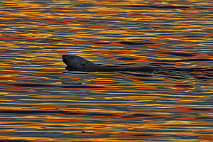 Polar bear (Ursus maritimus) swimming in calm water with sunset light reflected in ripples, Wrangel Island, Far East Russia, September.  -  Sergey  Gorshkov