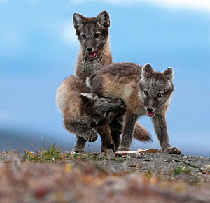 Arctic fox (Alopex lagopus) juveniles play fighting, Wrangel Island, Far East Russia, August.  -  Sergey  Gorshkov