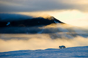 Arctic fox (Alopex lagopus) running in snowy landscape with mountains behind, Wrangel Island, Far East Russia, May.  -  Sergey  Gorshkov